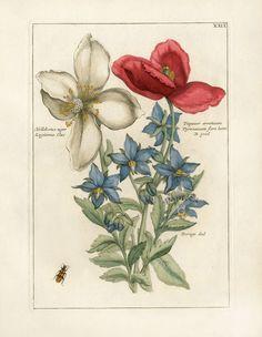 Helleborus niger. Legitimus Clus / Papauer erraticum. Pyrenaicum flore luteo. B prod