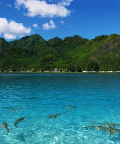 Shark diving in French Polynesia, Moorea by suzanne Hallam, via Flickr