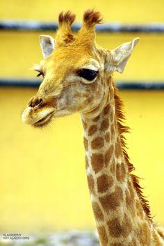 giraffe )