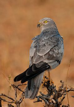 libutron:      Montagu's Harrier Male | ©Sachin Shidlingannavar (India)      The Montagu's harrier, Circus pygargus (Accipitridae) is a slim, medium-sized, long-winged bird of prey. It has a long tail, is smaller than a buzzard, and has more pointed wings than the similar hen harrier [1].