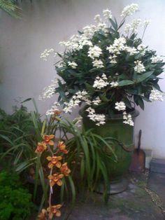 native Australian orchid