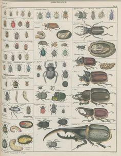 Lorenz Oken, Allgemeine Naturgeschichte für alle Stände, 1843. Insekten / Insekts, Käfer / Bugs