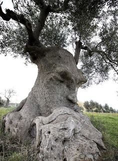 """""""Thinking Tree"""" an ancient olive tree in Puglia Italy.The """"Thinking Tree"""" an ancient olive tree in Puglia Italy. Weird Trees, Spooky Trees, Dame Nature, Tree Faces, Tree People, Unique Trees, Old Trees, Nature Tree, Olive Tree"""