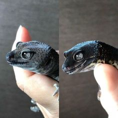 Before→After It is molting and shining beautifully. Cute Lizard, Cute Gecko, Cute Snake, Les Reptiles, Cute Reptiles, Reptiles And Amphibians, Cute Funny Animals, Cute Baby Animals, Animals And Pets