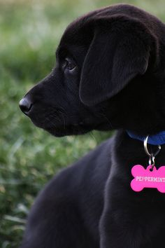 black labrador puppy, looks like Brody did when he was a puppy so cute