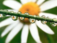 APRIL birth month flower: Daisy. Daisies stand for 'simplicity,' 'love conquers all,' and 'beauty.'