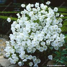 100 pcs/bag Bell Orchid Seeds Flower Campanula bonsai Flower seeds 9 colors Convallaria Seed plant pot for home garden