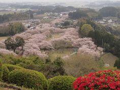 #japan #cherryblossoms #kyusyu #miyazaki 母智丘公園