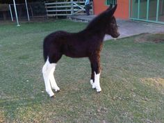 The orphan baby donkey Jewel takes care of, his name is Olly Cute Baby Animals, Farm Animals, Animals And Pets, Wild Animals, Most Beautiful Animals, Beautiful Horses, Clydesdale, Mules Animal, Baby Donkey