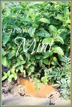 Growing And Taming Mint - StoneGable