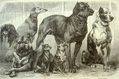 Un grabado de fecha de Abril de 1870, donde su autor A. Lançon, denomina a los ejemplares, de izquierda a derecha como: Caniche, Dogo de Burdeos, Lebrero marrón, Terrier Inglés pelo raso, Terrier Escocés, Cazador de Hombres y Dogo Danés. An engraving dated April 1870, where the author A. Lancon, referred to specimens from left to right as: Poodle, Dogue de Bordeaux, Lebrero brown, short hair English Terrier, Scottish Terrier, Bulldog Hunter Men and Danish .