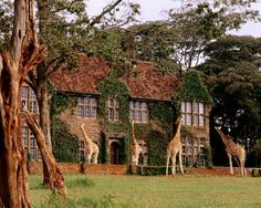 Imagine waking up to a giraffe peering in through your window... | Via ELLE DECOR - Giraffe Manor, Kenya
