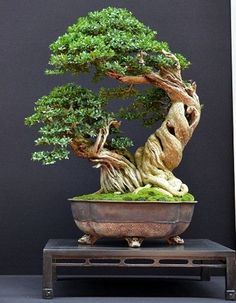Bonsai Tree Ideas A Guide To Bonsai Trees For Beginners Bonsai Tree Ideas. The art form of bonsai can be a wonderful and unique hobby. Viewing and taking good care of a bonsai collection can be a r… Bonsai Tree Care, Bonsai Tree Types, Indoor Bonsai Tree, Indoor Plants, Air Plants, Cactus Plants, Boxwood Bonsai, Bonsai Garden, Garden Trees