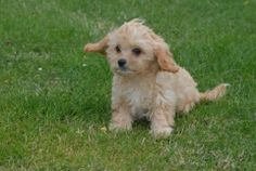 Amaizing Little Golden Cavapoo Boy 5 months old Designer