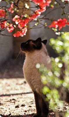 Siamese cat with red flowers on Viral Cats. Cool Cats, I Love Cats, Crazy Cats, Pretty Cats, Beautiful Cats, Animals Beautiful, Cute Animals, Pretty Kitty, Wild Animals