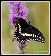 Swallowtail butterfly on Blazing Star (Liatris or Gayfeather)
