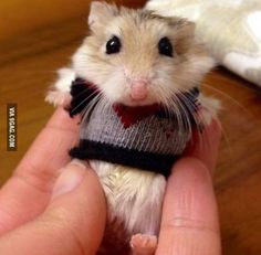 A Hamster in a Sweater