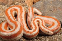 rosy boas Rosy Boa, Spiders And Snakes, All About Animals, Reptiles And Amphibians, Lizards, Zoo Animals, Beautiful Creatures, Turtles, Creepy