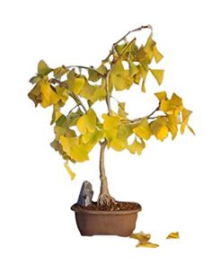 Bonsaiboy Ginkgo Bonsai Tree Ginkgo Biloba *** Details can be found by clicking on the image.