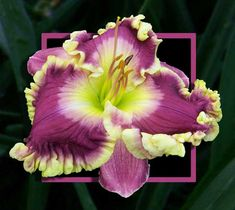 """Linda Bell '12, 7"""", Ev. the Lily Auction - The Fun Daylily Marketplace"""