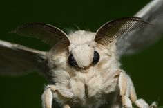 Macro Photography of a Little-Known Poodle Moth That Looks Like a Fairy Beautiful Bugs, Beautiful Butterflies, Animals Beautiful, Cute Animals, All Gods Creatures, Cute Creatures, Venezuelan Poodle Moth, Cute Moth, Rosy Maple Moth