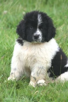 black and white newfoundland - Google Search