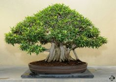 Ficus (Ficus retusa / ginseng) bonsai
