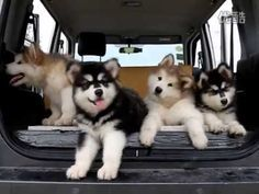 Drowsy Malamute Puppies Become Completed Confounded by Tinkly Music Coming From Car Speakers
