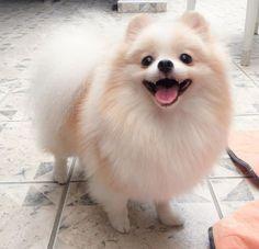 Cute Little Fluffy Pomeranian Dog
