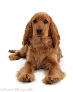 Photograph of Red/Golden English Cocker Spaniel, 5 months old. Rights managed white background Dog image. Spaniel Breeds, Dog Breeds, Red Cocker Spaniel, Beagle, Working Cocker, Huge Dogs, English Cocker, English Spaniel, Cockerspaniel