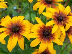 Black eyed Susan - Heat-Tolerant Plants on HGTV