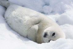 Baby harp seal.
