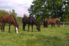 Insulineresistentie bij paarden zorgt ervoor dat het lichaam van je paard niet op de juiste manier kan omgaan met suiker in voedsel. Door insulineresistentie wordt de kans op hoefbevangenheid groter. Ook hebben veel paarden met…