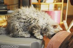Selkirk Rex Du Berger Selkirk Rex, Curly Cat, T Rex, Poodle, Curls, Kittens, Dogs, Animals, Cattery