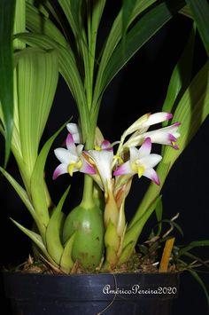 Dendrobium Nobile, Orquideas Cymbidium, Planting Flowers, Floral, Nature, Plants, Trees, Vases, Garden