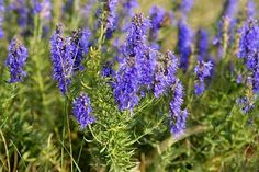 "HYSSOP, BIBLE (Psalm 51:9) - purifies us as white as snow; also used for homeopathy - prevents, protects, cleanses infections or illness; an ancient healing tradition with medicinal properties; and aka ""holy herb."""
