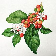 Coffee Doodle, Coffee Flower, Coffee Plant, Coffee Coffee, Coffee Tattoos, Coffee Drawing, Coffee Photography, Coffee And Books, Sketch Painting