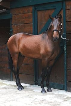 Coffee bean Dutch warmblood FOR SALE coffee bean is a curious horse, he loves everyone. Most Beautiful Animals, Beautiful Horses, Cleveland Bay, Dutch Warmblood, Bay Horse, Majestic Horse, All The Pretty Horses, Horse Farms, Horse Pictures