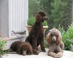 like my old Fido, who lived to be 21 - poodles are the smartest, most brilliant dogs ever - and brown is the best colour ;o)