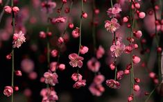 Wallpapers Of The Day: Cherry Blossom