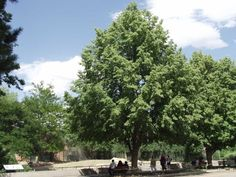 Greenspire Linden ©photo ArborTanics Inc.