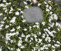 Pratia angulata - White Star Creeper NZ native plant. Under the Gardenias