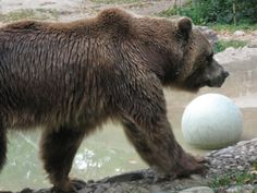 Grizzly Bear - Toronto Zoo