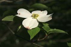 Starting Dogwoods From Cuttings: When To Take Cuttings Of Dogwood - Propagating dogwood cuttings is easy and inexpensive. You can easily make enough trees for your own landscape, and a few more to share with friends. For the home gardener, the easiest and fastest method of dogwood tree propagation is taking softwood cuttings. Find out how to grow dogwood cuttings in this article.