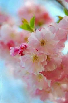 La Vie en Rose Spring -Such lush sweet endlessly pretty pink springtime blossoms! The post La Vie en Rose appeared first on Ideas Flowers. Pink Blossom, Blossom Flower, My Flower, Cherry Blossoms, Cactus Flower, Spring Is Here, Spring Time, Pretty In Pink, Beautiful Flowers