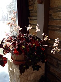 "Faithful indoor sign of spring is the arrival of blooms on our black leaved ""muddy waters"" rhizomatous begonia. We've had this one for at least 4 years and love its easy, undemanding presence."
