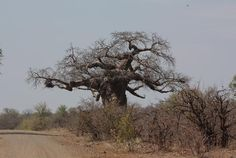 'Baobab Tree' by helenamarais Baobab Tree, Kruger National Park, More Images, Nature Pictures, Travel Destinations, Hiking, Country Roads, World, Photography