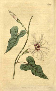 8896 Ipomoea pandurata Conz. & L.C. Sm. [as Convolvulus panduratus L.] / Curtis's Botanical Magazine, vol. 44: t. 1939 (1817) [n.a.]