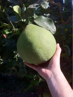 Pomelos como balones de playa // Grapefruits coming in big size