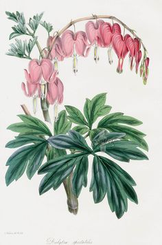 Joseph Paxton Antique Print 1834 bleeding heart